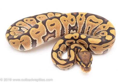 Orange Ghost ball python for sale