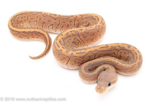 Ghost Cinnamon Pinstripe ball python for sale