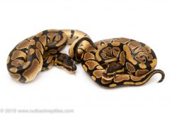 Het lavender ball python for sale