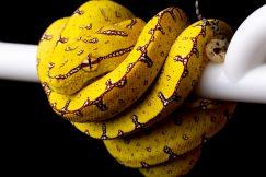 Jayapura green tree python for sale
