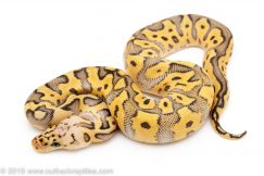 Killer clown ball python for sale
