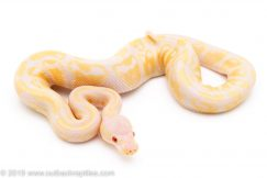 Lavender Albino ball python for sale