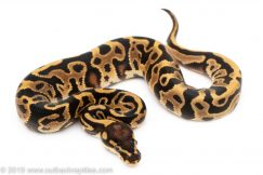 Leopard Yellowbelly poss Red Stripe ball python for sale