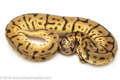 Leopard Bumblebee ball python for sale