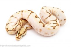 Orange Dream Lesser Bee ball python for sale