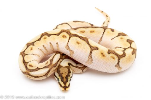 Lesser Bee ball python for sale