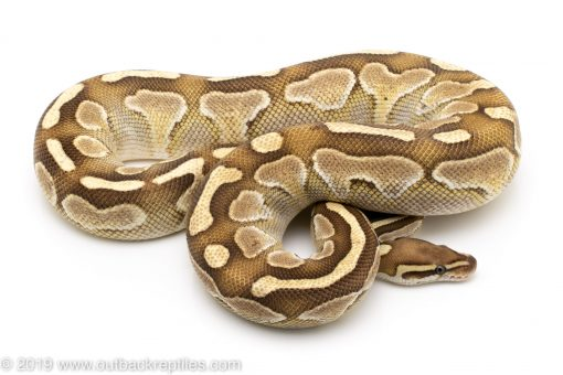 Lesser Platinum ball python for sale