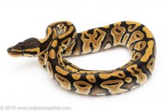 Mystic ball python for sale
