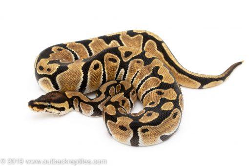 Orange Dream ball python for sale