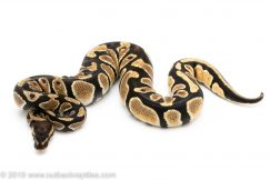 orange dream ball python for sale