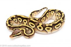 Pastave het ghost clown ball python for sale