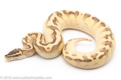 Pastel butter Enchi sugar ball python for sale