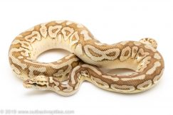 Pastel Lesser Spotnose ball python for sale