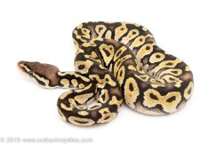 Pastel Mystic ball python for sale