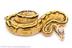 Pastel Super Stripe ball python for sale