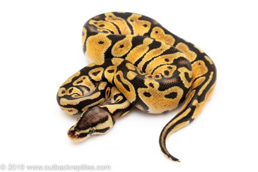 Pastel het ghost clown ball python for sale