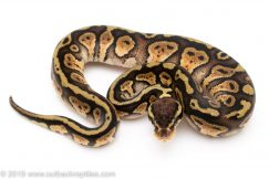 Pastel Granite Red Stripe ball python for sale