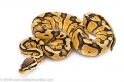 Pastel Red Stripe ball python for sale