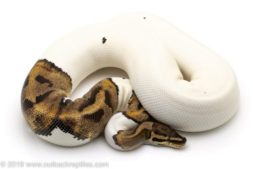 Adult Female Pied ball python for sale