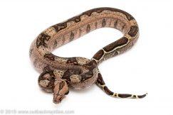 Striped boa constrictor for sale
