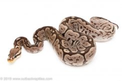 Red Axanthic Spider ball python for sale