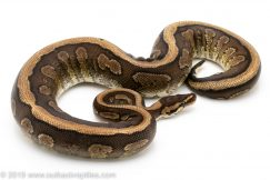 Red Devil ball python for sale