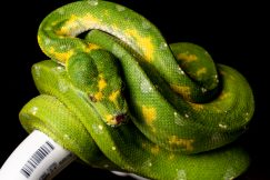 Biak Green tree python for sale