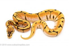 Spider Orange Dream Enchi ball python for sale