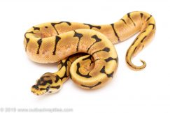 Spider het Lavender ball python for sale