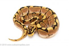 Spider het clown ball python for sale