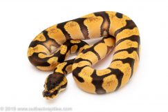 Super Enchi OD ball python for sale