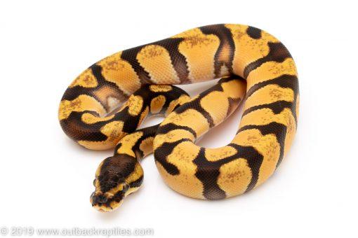 Super Enchi OD ball python for sale