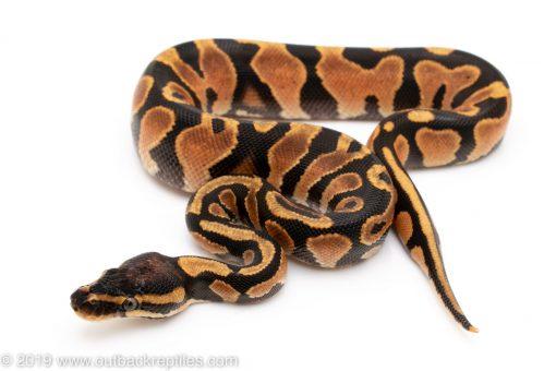 Super Orange Dream Yellowbelly ball python for sale