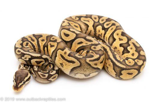 Super Pastel ball python for sale