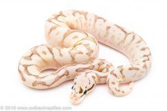 Super Pastel Spider Lesser Congo ball python for sale