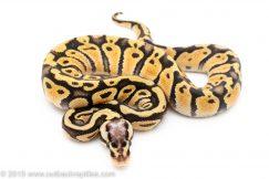 Super Pastel het ghost clown ball python for sale
