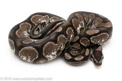 VPI Axanthic Calico ball python for sale