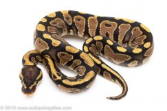 Yellowbelly ball python for sale