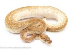 Lesser clown ball python for sale