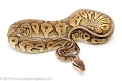 Pewter YB/Specter ball python for sale