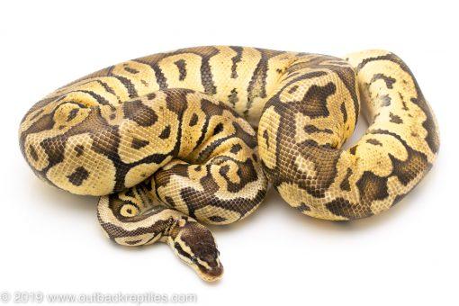 Super Pastel poss het clown ball python for sale