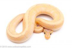 Banana Pinstripe ball python for sale