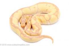 Banana Enchi Clown ball python