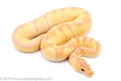 Banana enchi clown ball python