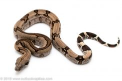 Striped Guyana redtail boa for sale