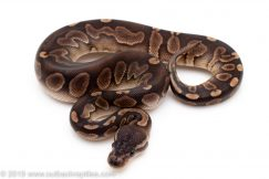 Black Pastel GHI ball python for sale