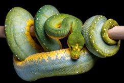 Blue green tree python