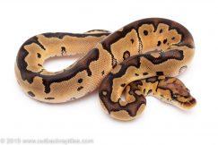 CLown ball pythons for sale