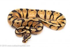 Spotnose Enchi Calico ball python for sale