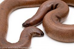 Indian Sand Boa for sale